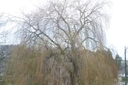 Elagage d'un arbre en Brabant Wallon