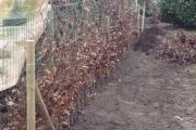 Plantation  à distance de hêtres